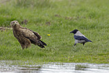 Lesser Spotted Eagle & Hooded Crow