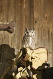 Southern White-faced Owl