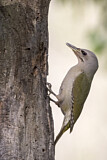 Grey-headed Woodpecker