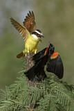 Great Kiskadee & Red-shouldered Blackbird