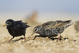Common Starling & Spotless Starling