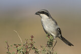 Great Grey Shrike