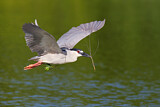 Black-crowned Night Heron