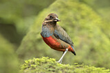 Whiskered Pitta