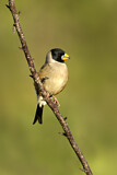 Chinese Grosbeak