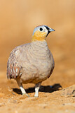Crowned Sandgrouse