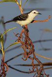 Black-backed Water Tyrant
