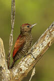 Blood-colored Woodpecker