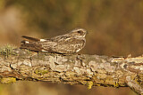 Anthony's Nightjar