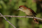 Rusty-backed Spinetail