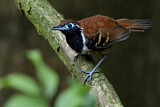 Ferruginous-backed Antbird