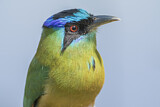 Blue-capped Motmot