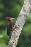 Red-necked Woodpecker