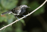 Southern White-fringed Antwren