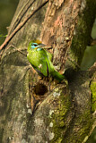 Yellow-fronted Barbet