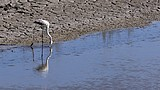 Greater Flamingo Video