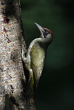 European Green Woodpecker