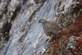 Snow Mountain Quail