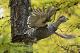 Black-billed Capercaillie