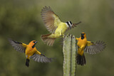 Great Kiskadee & Altamira Oriole