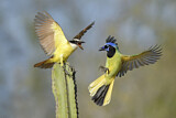 Great Kiskadee & Green Jay