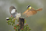 Great Kiskadee & Northern Mockingbird