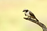 Southern White-crowned Shrike