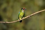 Golden-throated Barbet