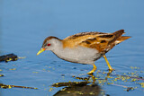 Little Crake
