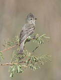 Northern Beardless Tyrannulet