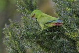 Slender-billed Parakeet