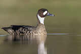 Bronze-winged Duck