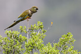 Burrowing Parrot