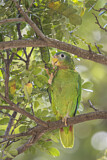 Yellow-billed Amazon