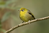 Slender-billed White-eye