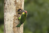 Golden-whiskered Barbet