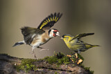 European Goldfinch & Eurasian Siskin