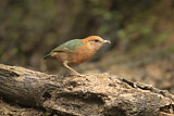 Rusty-naped Pitta