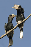 Black-and-white-casqued Hornbill