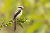 Mackinnon's Shrike