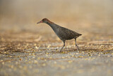 Slaty-breasted Wood Rail