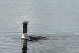 Black-throated Loon