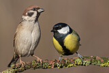 Eurasian Tree Sparrow & Great Tit
