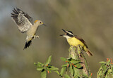 Great Kiskadee & Golden-fronted Woodpecker