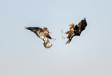 Common Buzzard & Western Marsh Harrier