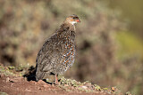 Chestnut-naped Francolin