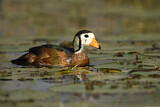African Pygmy Goose