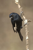 White-winged Black Tit