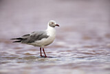 Grey-headed Gull?