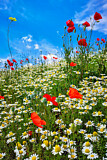 Red Poppy wildflower meadow with Marguerite